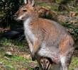 Kangur znów widziany na Sadybie