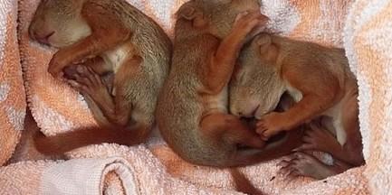 Kobieta uratowała trzy malutkie wiewiórki