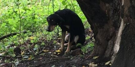 """Pies porzucony nad Wisłą. Był przywiązany do drzewa na 1,5-metrowym łańcuchu: """"kulił się ze strachu"""""""