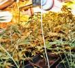 22 krzaki marihuany w mieszkaniu [WIDEO]