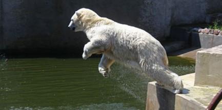 Misie polarne baraszkują w wodzie (WIDEO)