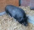 """Wietnamska świnka """"relaksowała się"""" przy ulicy Relaksowej"""