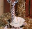 Żyrafek ma już 2 metry. Zoo świętuje