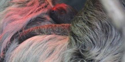 W zoo urodził się leniwiec! (ZDJĘCIA)