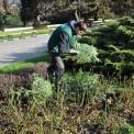 Stroisz położony zimą chronił m.in. krzewy róż przed mrozem Fot. Zarząd Oczyszczania Miasta