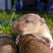 """Plaga szczurów na Bielanach. """"Są wszędzie"""""""