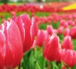 Zamień zużytą baterię na tulipana!