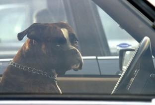Uratował psa z rozgrzanego samochodu. Trafi przed sąd za wybitą szybę?