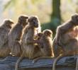 Zmarłą pawianicę żegnały w milczeniu wszystkie małpy